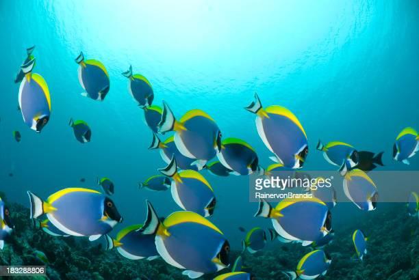 powder-blue surgeon fish in shoal