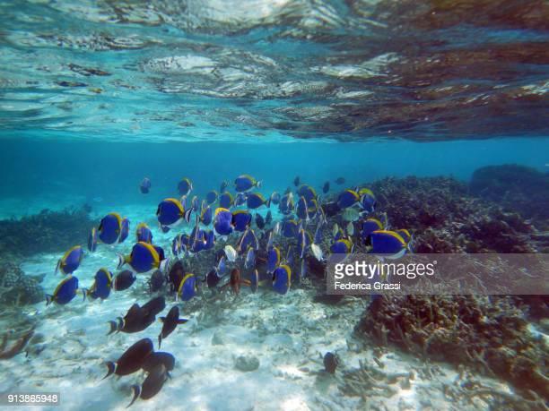 Powderblue Surgeonfish or Blue Tang Fish (Acanthurus Leucosternon)