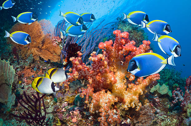 Powder-blue surgeonfish over corals