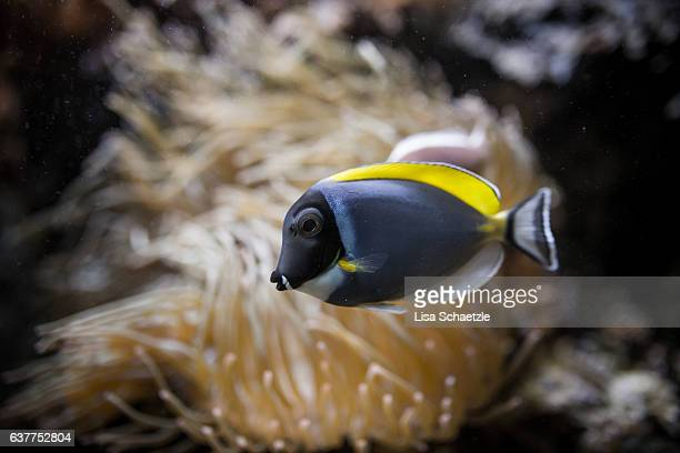 powderblue surgeonfish (acanthurus leucosternon) - lisa tang stock photos and pictures