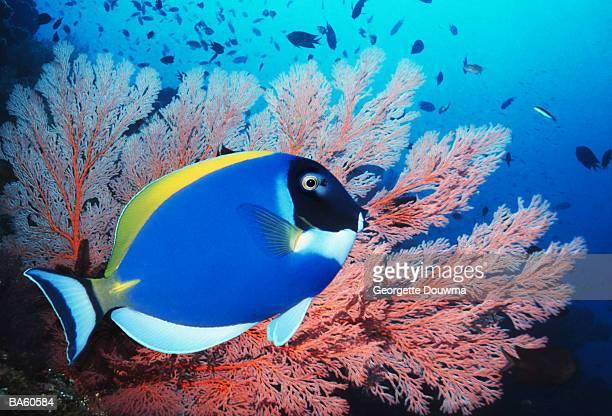 Powderblue surgeonfish (Acanthurus leucosternon) with gorgonian coral