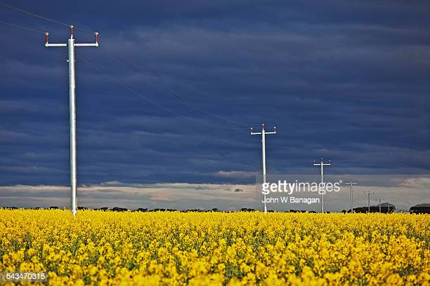 Power lines and canola field
