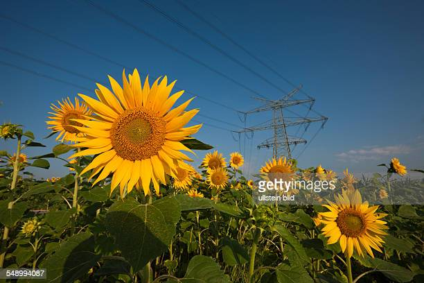 Power Lines over Sunflower Field Helianthus annuus Munich Bavaria Germany