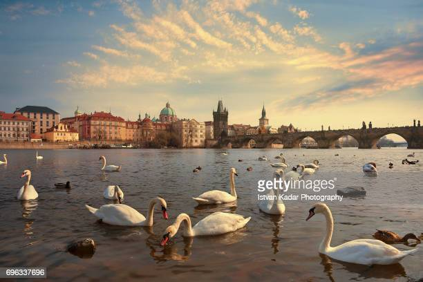 prague swans of the vltava river, prague, czech republic - prag stock-fotos und bilder