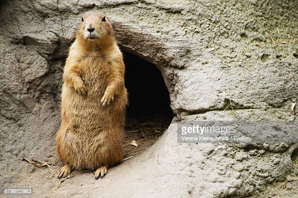 prairie dog by burrow in rock at zoo - prairie dog stock pictures, royalty-free photos & images