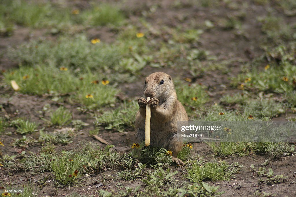 Prairie Dog Eating A French Fry Stock Photo - Getty Images
