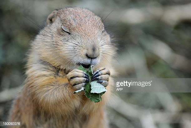 A prairie dog eats a leaf at the zoo in Hanover Germany on August 10 2012 The prairie dog is a type of ground squirrel found in the United States...