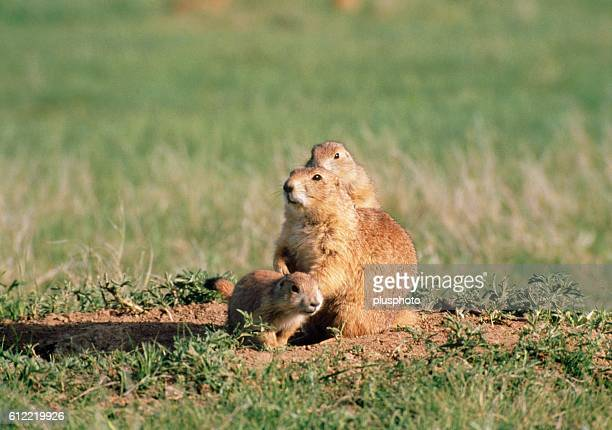 Prairie dog family, Wyoming, USA