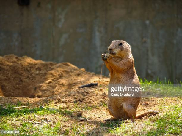 prairie dog (cynomys) holding food - prairie dog stock pictures, royalty-free photos & images
