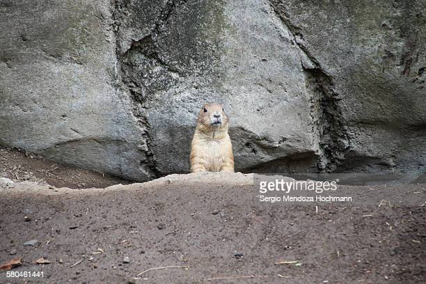 A prairie dog looking at the camera