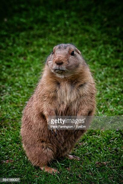 prairie dog on grassy field - prairie dog stock pictures, royalty-free photos & images