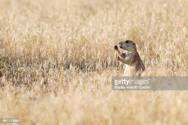 Prairie Dog On Grassy Field