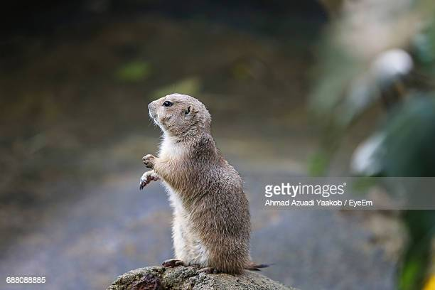 Prairie Dog On Rock