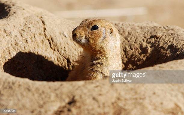 A prairie dog peeks out from a hole at the San Francisco Zoo in this undated file photo An official at the Centers for Disease Control and Prevention...
