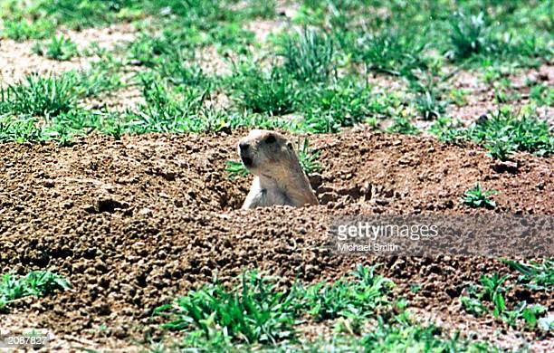 A prairie dog peeks out of a hole May 24 2001 near Denver Colorado The Centers for Disease Control and Prevention said the viral disease Monkeypox...