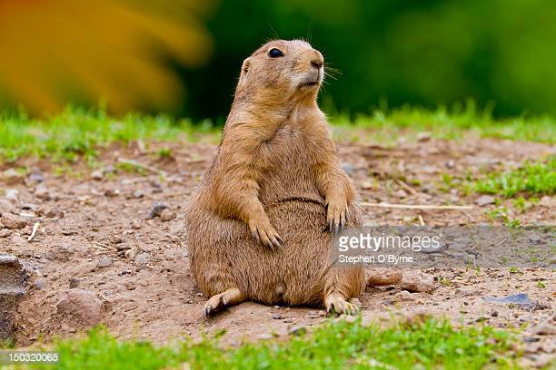 prairie dog - prairie dog stock pictures, royalty-free photos & images