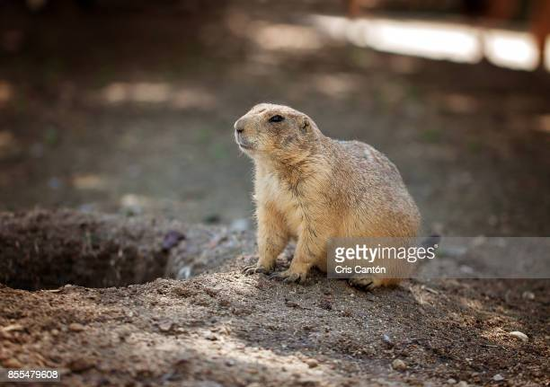 prairie dog - cris cantón photography stock pictures, royalty-free photos & images