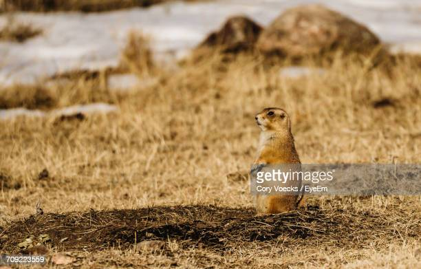 Prairie Dog Rearing Up On Field