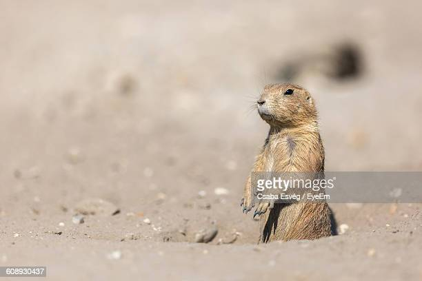 Prairie Dog Standing On Field