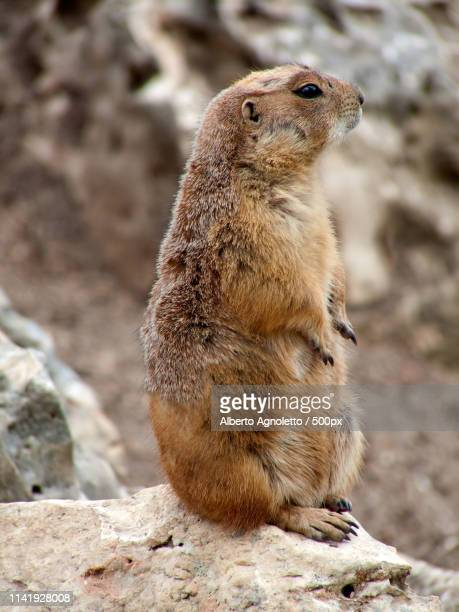 prairie dog standing - funny groundhog stock pictures, royalty-free photos & images