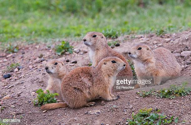 Prairie Dog Town--Black-tailed Prairie Dogs