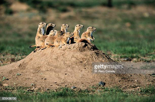 prairie dogs at their burrow - prairie dog stock pictures, royalty-free photos & images