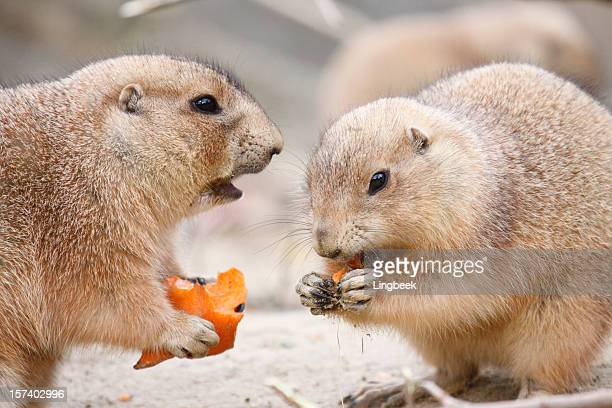 prairie dogs eating carrot - prairie dog stock pictures, royalty-free photos & images