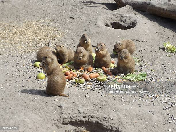 Prairie Dogs Eating Fruits And Vegetables In Zoo