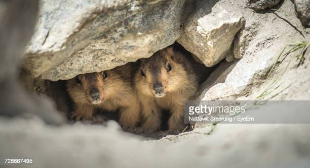 Prairie Dogs In Small Cave