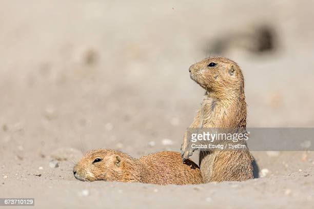 prairie dogs on field - prairie dog stock pictures, royalty-free photos & images