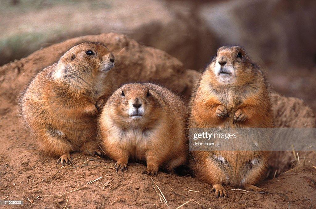 prairie dogs : Stock Photo
