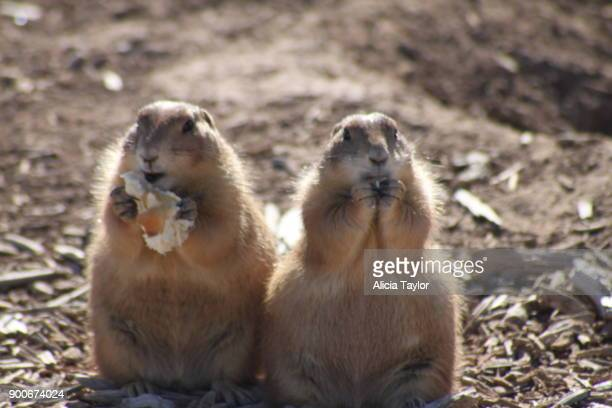 prairie dogs - lubbock stock pictures, royalty-free photos & images