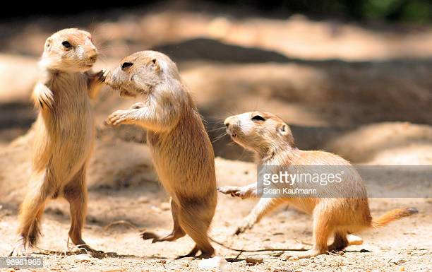 prairie dogs - prairie dog stock pictures, royalty-free photos & images