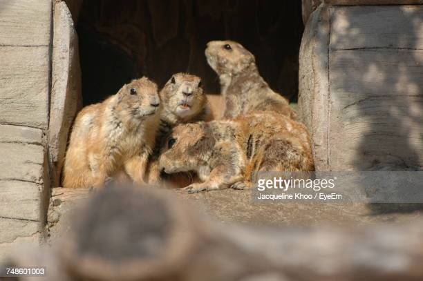 Prairie Dogs Sitting By Wood Outdoors