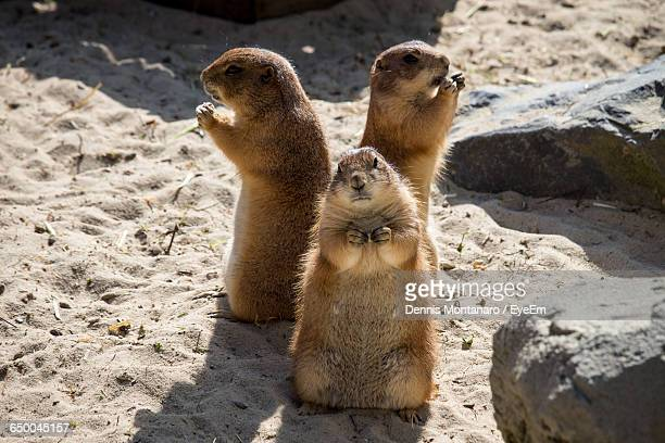 prairie dogs standing on sand during sunny day - prairie dog stock pictures, royalty-free photos & images