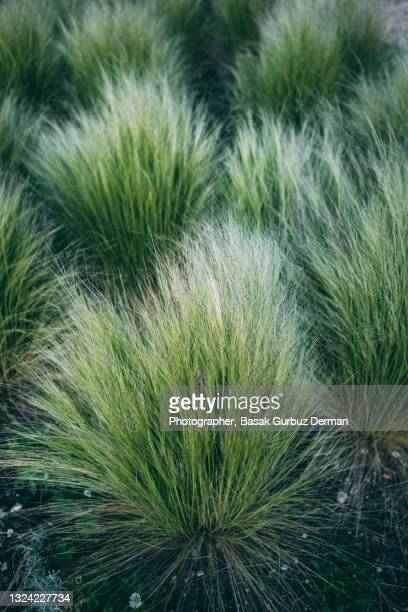 prairie dropseed - grass stock pictures, royalty-free photos & images