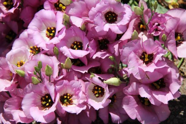 Prairie gentian flowers.
