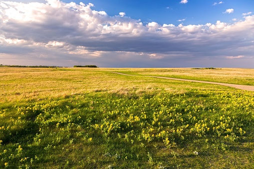 Prairie Grassland Landscape and Yellow Springtime Wildflowers Blooming on Nose Hill Natural Park in Calgary Alberta 1143374823