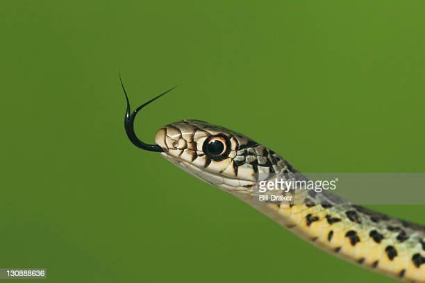 prairie kingsnake (lampropeltis calligaster), young, sinton, corpus christi, coastal bend, texas, usa - kingsnake stock photos and pictures