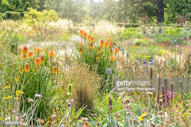 prairie planting summer borders with red hot pokers also known as kniphofia - プレーリー ストックフォトと画像