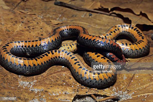 prairie ringneck snake, diadophis punctatus arnyi, feigning death, fillmore county, minnesota, usa - squamata stock photos and pictures