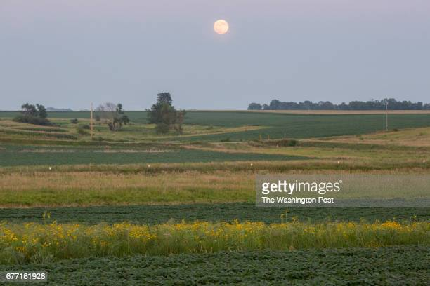 A prairie strip filled with blackeyed susan flowers in between soy beans on Tim Smith's farm east of Eagle Grove Iowa on July 19 under a rising full...