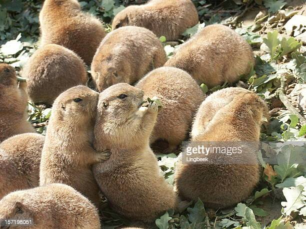 prairiedogs as friends - prairie dog stock pictures, royalty-free photos & images