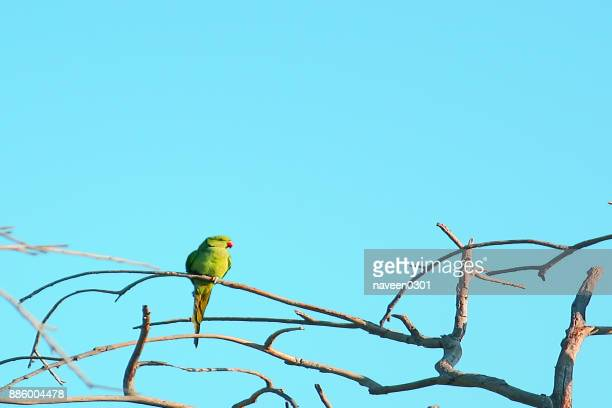 Prakeet (Parrot) with clear blue sky in background