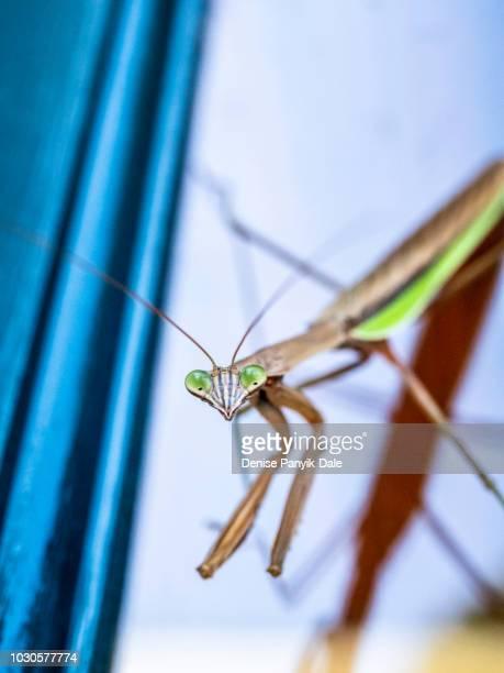 praying mantis closeup - panyik-dale stock photos and pictures