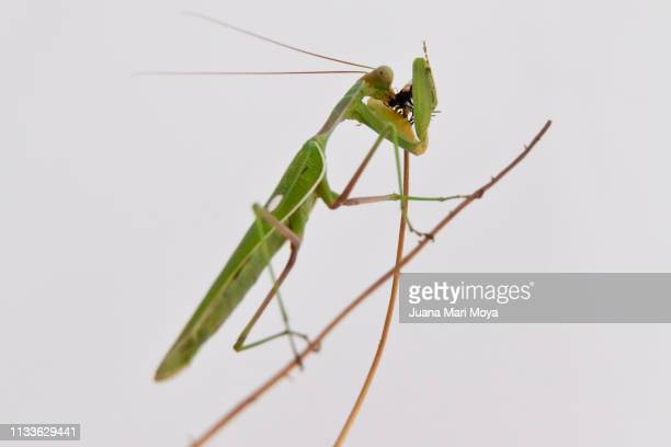 Praying mantis eating a fly, on white background