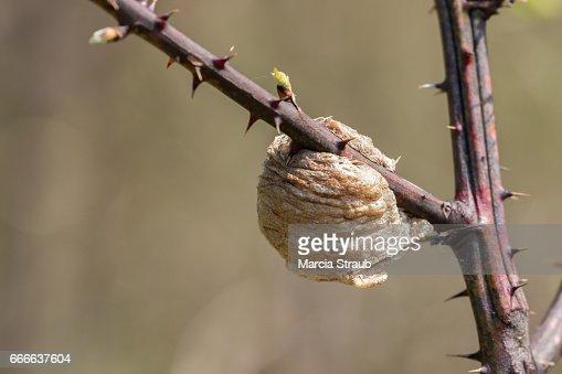 nz praying mantis egg case