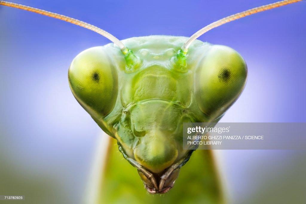 Praying mantis head : Stock Photo