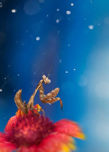 Praying mantis in rain