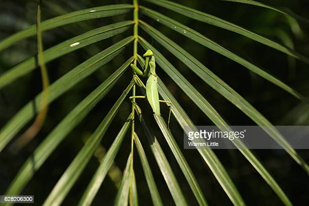 Praying mantis is pictured during the pro-am ahead of the UBS Hong Kong Open at The Hong Kong Golf Club on December 7, 2016 in Hong Kong, Hong Kong.